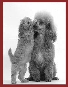 mothers-day-2015-poodle