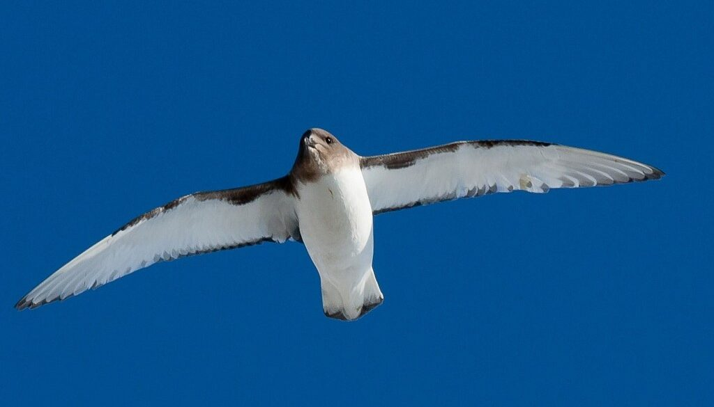 Antarctic-Petrel-Wings-Photography-Photos